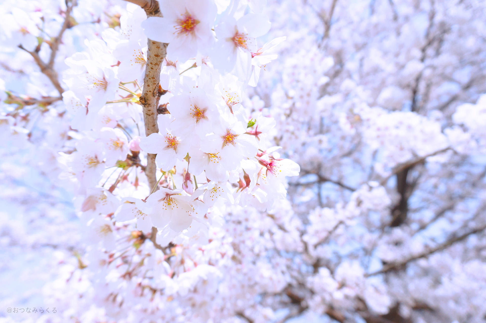 静岡 桜 スナップ