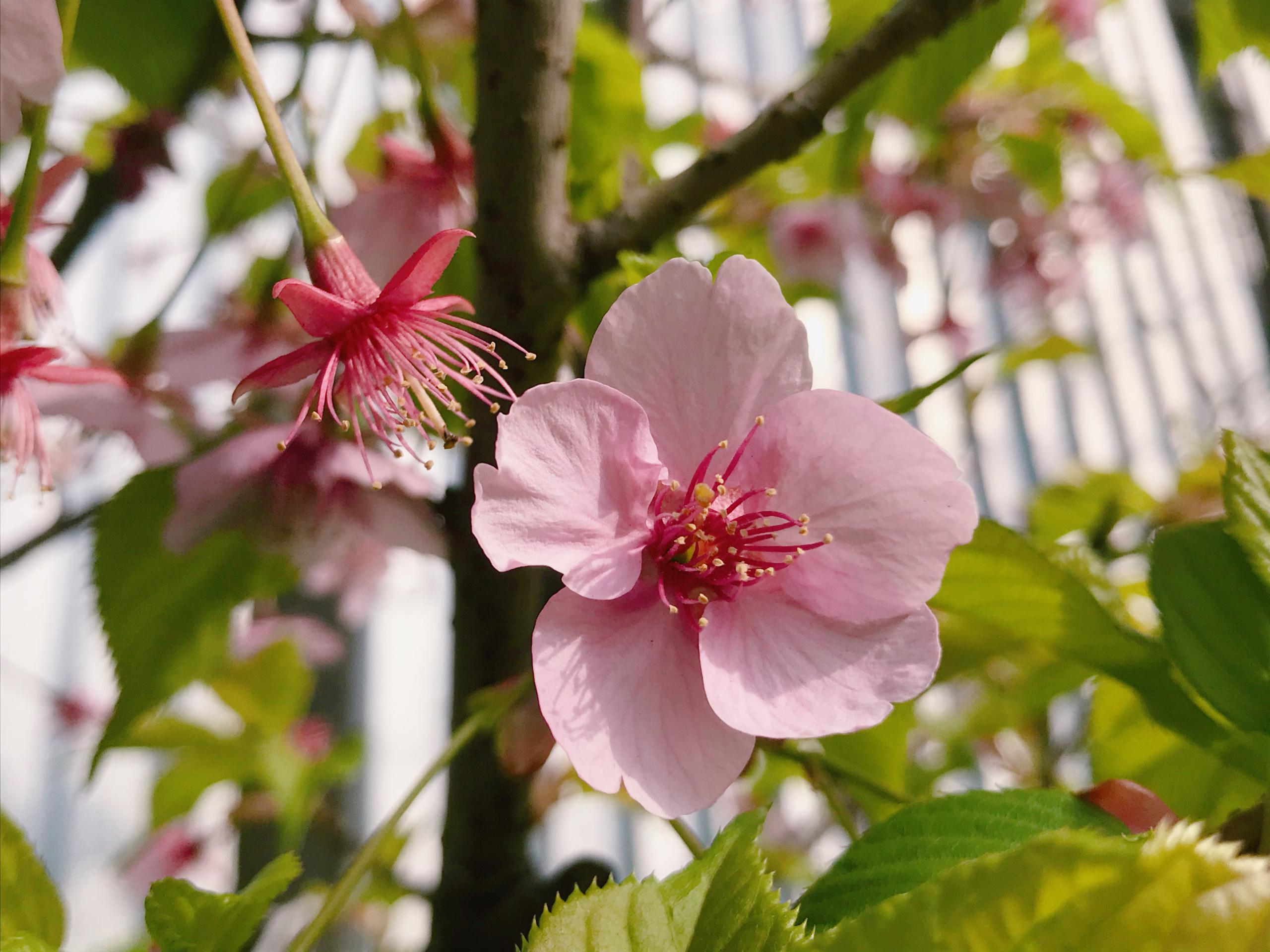 スナップ 植物 桜